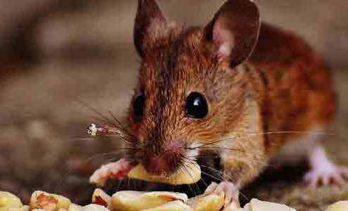 Rodent-Control-in-Chennai